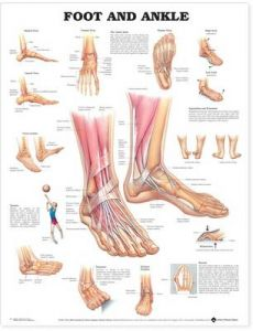 Foot and Ankle Anatomical Chart by Anatomical Chart Company
